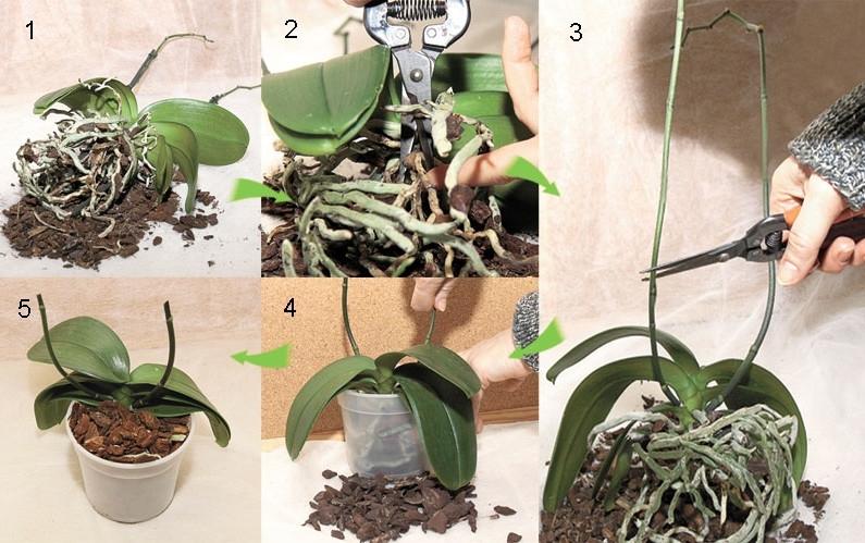 Пересадка орхидеи в домашни условиях